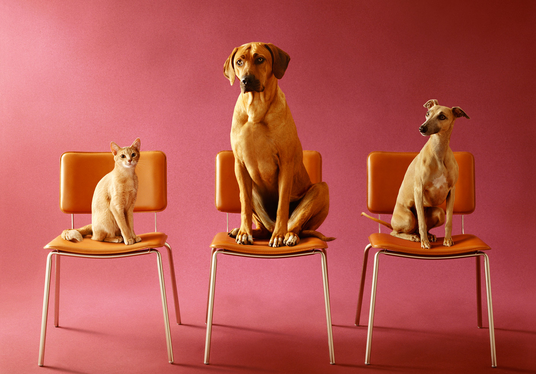 CatDogs-on-Chairs-New-Pape