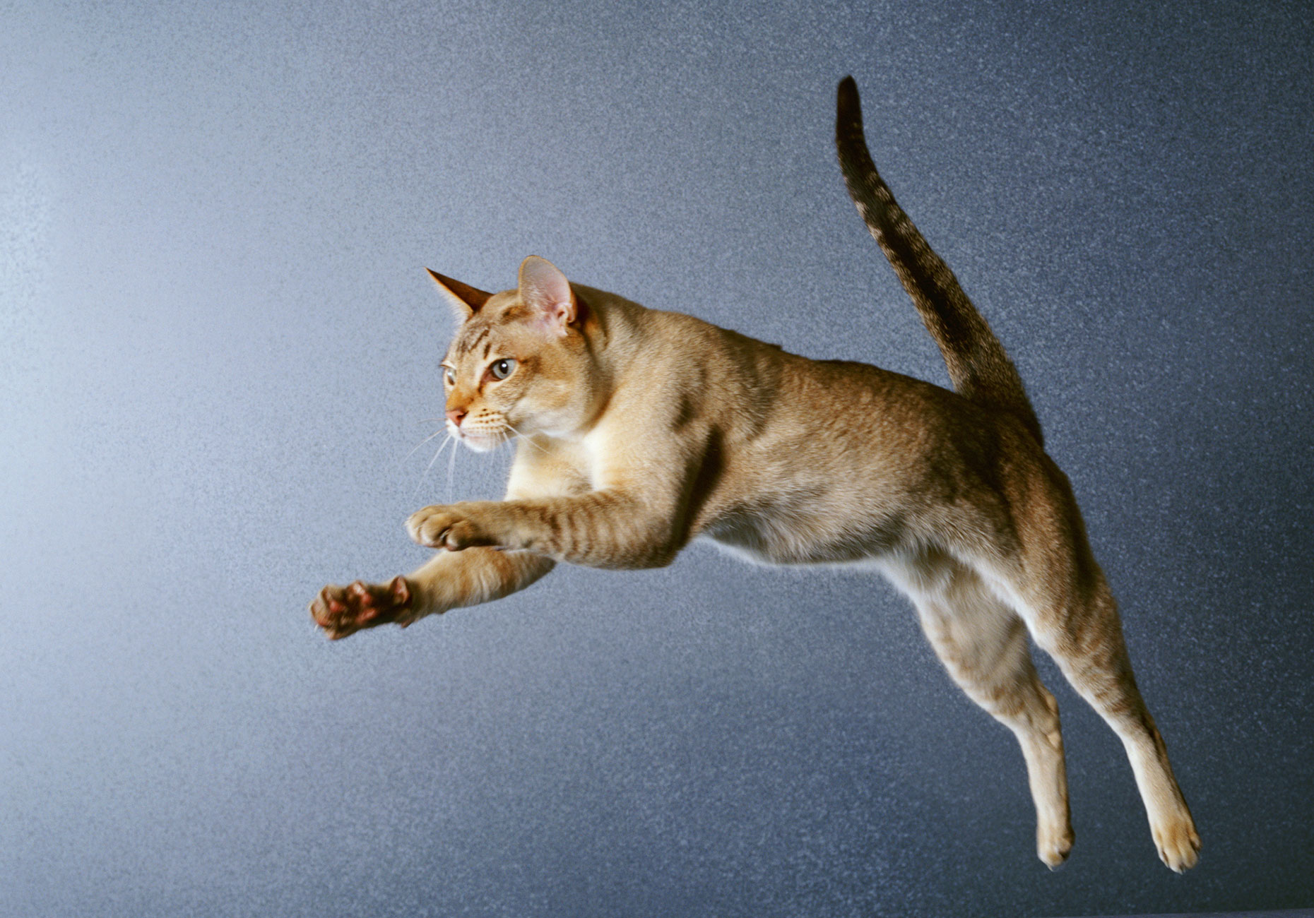 Leaping-Cat